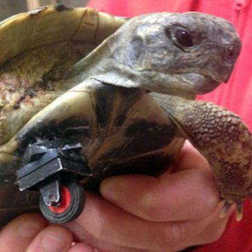 Tartaruga disabile Shildi con la sua particolare protesi