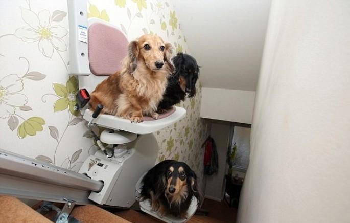 In Inghilterra tre cani bassotti usano il montascale