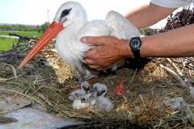Malena nel nido con i suoi pulcini