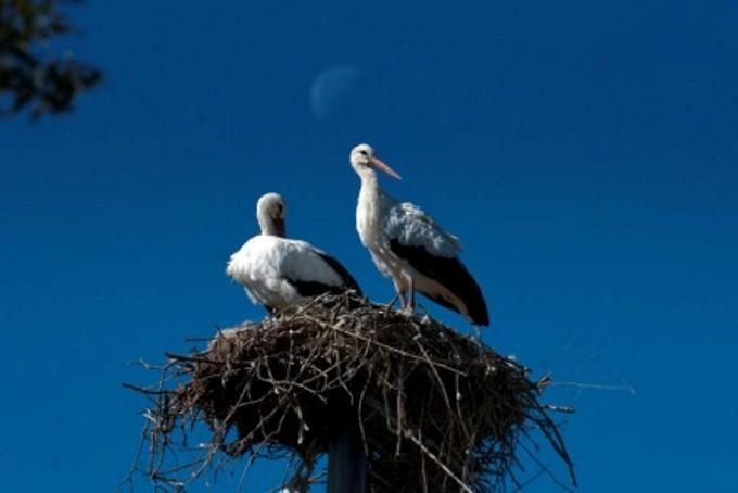 Le cicogne Malena e Kepletan nel nido