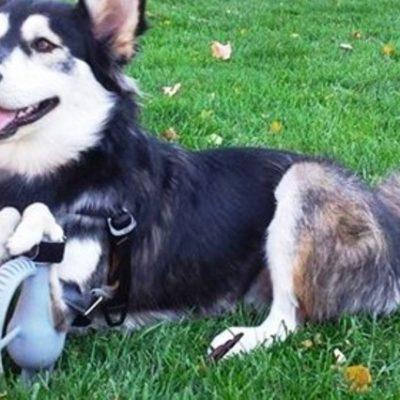 Derby il cane disabile che torna a correre con le protesi